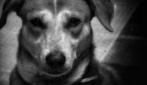 šuo, Indian Izstumtais, geriausias draugas, portretas, augintinė, gyvūnas, mielas, jauna, draugas, kailiai, veidas, nosis, Draugystė, keturkojis, Moteris, žavus