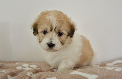 šuo, šuniukas, jauna kalė, šuniuką arba, jauna šunų orore, Coton Tulearas, šuo oliver, jauna patinas, mielas, žavinga, kompanionas, portretas