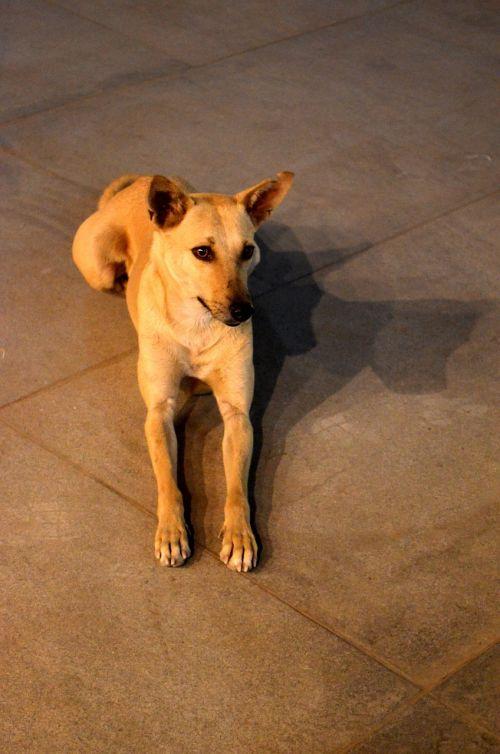 šuo,sėdi,naminis gyvūnėlis,šunys,gyvūnas,kilmės