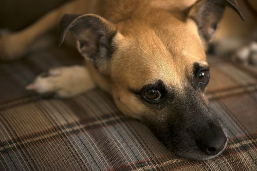 šuo,šunys,gyvūnas,portretas,naminis gyvūnėlis,sėdi,akis,atrodo,draugas,vidaus,išraiška,Iš arti,šunys,veidas