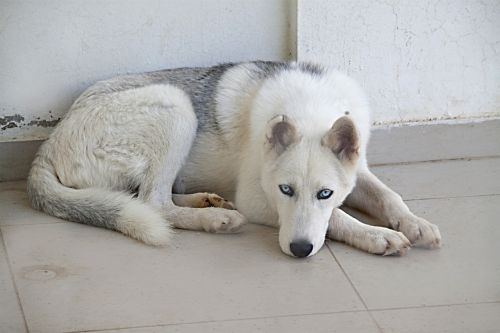 šuo,balta,kailis,gyvūnas,Husky,melas,mėlyna akis