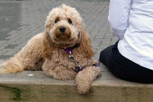 šuo,sėdi,stendas,naminis gyvūnėlis,šunys,vidaus,žinduolis,šuniukas,žavinga,kilmės,šunys,Draugystė,draugas,purus,leashed,paklusnus,kartu