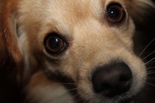 šuo,hibridas,augintiniai,veidas,mažas šuo,portretas,jaunas šuo,snukis,akys,šuo veido,gyvūnai