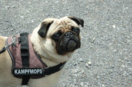 šuo,Mopsas,pavojingas,grasinanti,juokinga
