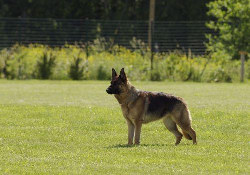 šuo, Vokiečių aviganis, stovintis, naminis gyvūnėlis, paklusnus