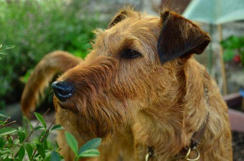 šuo,isrinis terjeras,hundeportrait,gyvūnų portretas,terjeras,naminis gyvūnėlis,ruda,gyvūnas,veidas,šunų akys,Uždaryti,kailis