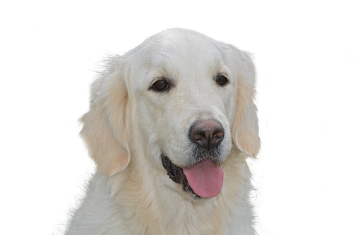 šuo kainuoja, Auksaspalvis retriveris, augintinė, šuo, gyvūnas, grynaveislis šuo, gyvūnų portretas, Gerbiamas, didelis šuo, šuo vadovas