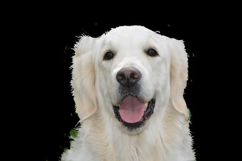 šuo kainuoja, Auksaspalvis retriveris, augintinė, šuo, jauna, gyvūnas, grynaveislis šuo, gyvūnų portretas, Gerbiamas, didelis šuo, saldus, Šuo vadovas, kailiai, galva