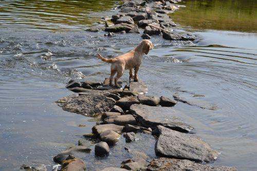 šuo vandenyje,atsipalaidavimas,vaiduoklis,vasara,vanduo,american cocker spaniel,aušinimas,vasaros oras,šuo ant akmens