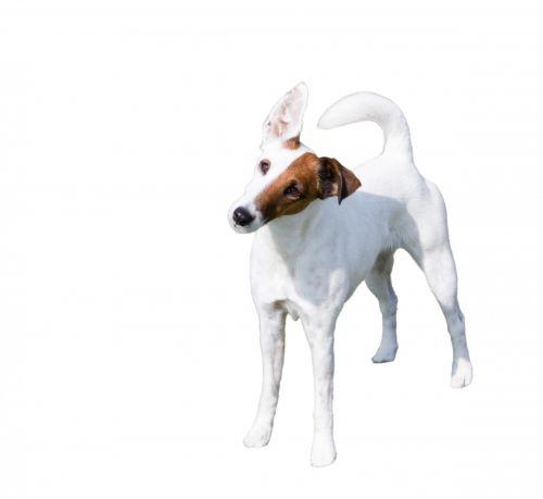 šuo, lapė & nbsp, terjeras, lygus & nbsp, lapės ir terjeras, terjeras, lygus, gyvūnas, naminis gyvūnėlis, izoliuotas, balta, fonas, mielas, stovintis, šuo išskirtas baltas fonas