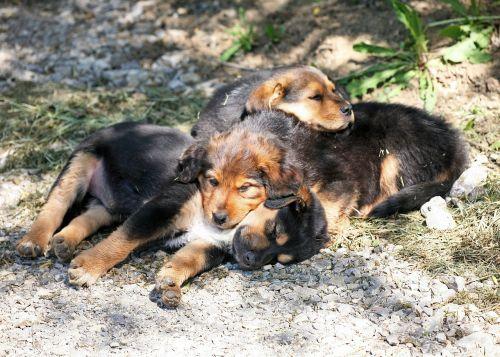 šunų šuniukai,šuniukai,šuo,kūdikis,saldus,naminis gyvūnėlis,mažas,mielas,pavargęs,miegoti