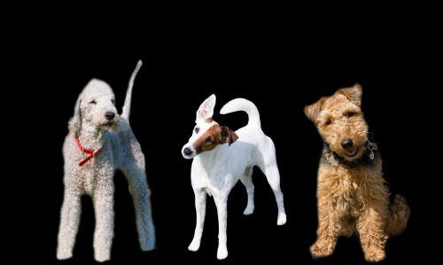 šuo, šunys, terjeras, terjerai, bedlingtonas & nbsp, terjeras, velsiečių terjeras, lygus & nbsp, lapės ir terjeras, lapė & nbsp, terjeras, juoda, fonas, mielas, naminis gyvūnėlis, augintiniai, gyvūnas, gyvūnai, kilmės, gryna & nbsp, veislė, Laisvas, viešasis & nbsp, domenas, šunys