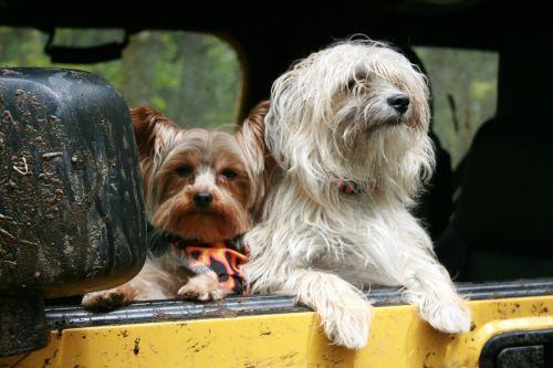 šunys,automobilis,žiūri,šunys,draugai,transporto priemonė,kelionė,kelionė,šuniukas,važiuoti,vairuoti,šunys,šunys,pūkuotas,paklusnus,mielas,linksma,žavinga,kelionė,grynakraujis,gyvūnas,dėmesio,viduje