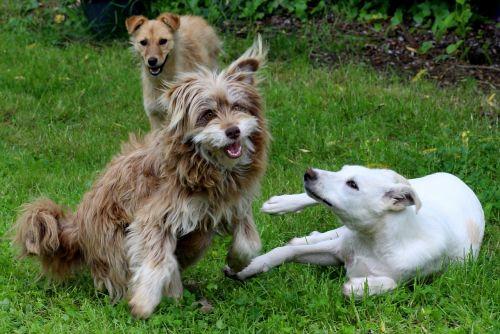 šunys,žaisti,gyvūnai,linksmas,Draugystė,juokinga