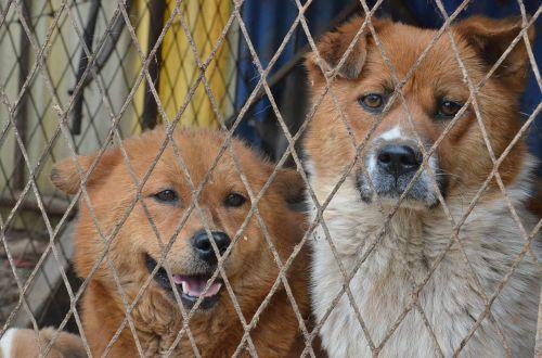 šunys, saldus, gyvūnai, mielas, naminis gyvūnėlis, įdomu, gamta, šviesiai ruda, mielas išvaizdą, įkalintas, tinklelis, sugauti, tvora, Schäfer šuo, liūdnas
