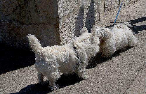 šunys,maži šunys,maltiečių,baltas šuo,baltos maltiečių,veislė,leidžiama šunys,šunų kambarys,spacer,susitikimas,Iš arti,pripažinimą,sniffing,šešėliai,Du šunys