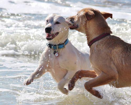 šunys,romp,žaisti,įkandimas,ausis,vanduo,elementas,gyvūnai,linksma,šlapias,jūra,papludimys,vandenynas,banga,balta,ruda,kailis,švirkšti,karoliai