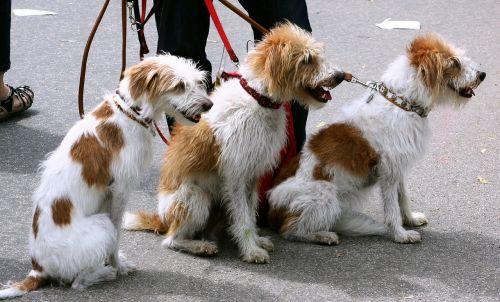 šunys,danelės,augintiniai,pakabukas,leashed,vadovavo,šuns vedžiotojas,gamta,lauke,gatvė,mielas