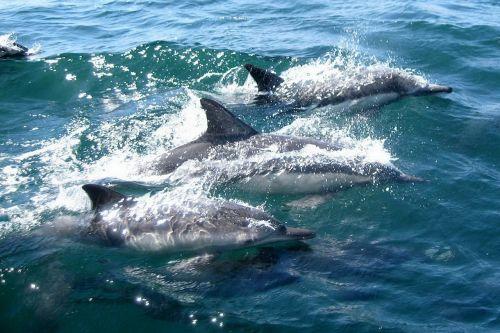 delfinai,maudytis,vanduo,vandenynas,jūra,jūrų,žinduolis,plaukti,vandens,šokinėti,šokinėja,Jūros gyvenimas,jūros žinduolis,delfinas,purslų,protingas