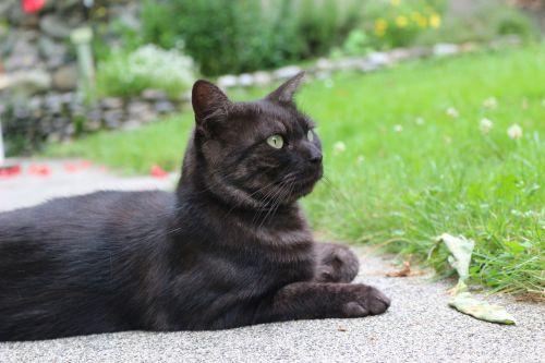 naminis gyvūnas,kačių,katė guli,ramus,naminis gyvūnėlis,atrodo