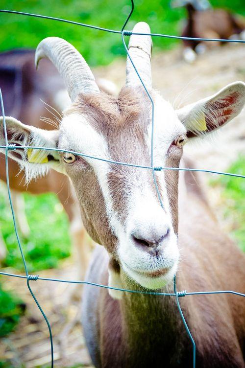 naminė ožka,ragai,Tiuringijos miško ožka,ožka,galva,akis,kilnoji ožka,gyvūnas,gyvuliai,ūkis,ruda,ožkos galva,tvora