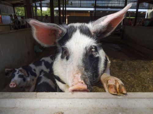naminė kiaulė,gloucesterio senoji vietinė kiaulė,kiaulės veidas,snukis,ūkio gyvūnai,kiaulių veido veidas,tradicinės veislės,ūkininkavimas,kiaulės ausis,juodos ir baltos kiaulės
