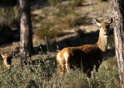 doñana nacionalinis parkas,elnias,pušys,šepetys,laukiniai,žvilgsnis,kaimas,gamta,žinduolis,kailis,Doe,pavasaris,gyvūnas,jaunas