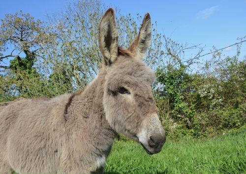 asilas,arkliai,gyvūnas,ilgos ausys,tvirtas,naminis gyvūnas,žinduolis