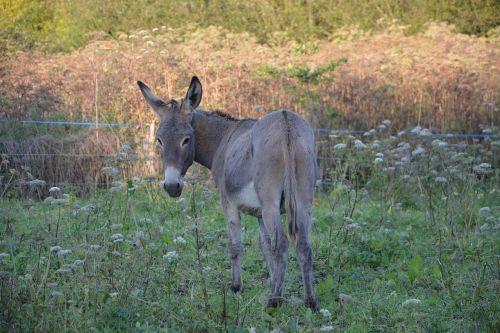 asilas,arklinių šeimos gyvūnai,pilka asilas st Andrew,vaikščioti prairie,pre,laukai,arkliai,laukas,prairie,žalia prairija,šviesa
