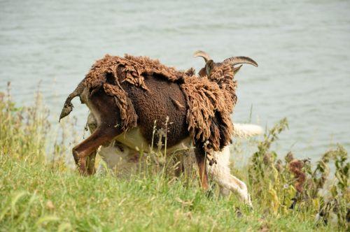 ėriena, avys, troškulys, mityba, maistas, gamta, gyvūnas, troškulys