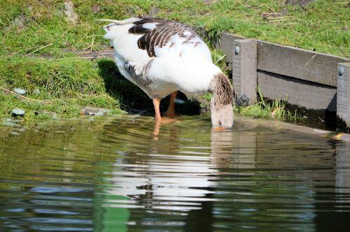 galas, vandens paukščiai, gamta, gyvūnas, vanduo, griovys, troškulys, gerti, troškulys