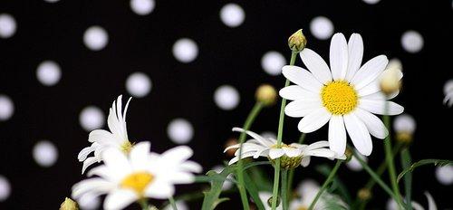 taškų, juoda ir balta, modelis, dizainas, punktyrinė, pobūdį, medžiaga, Daisy, vasara, fonas