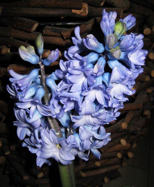dvigubas hiacintas,aromatingas,pavasario požymiai,pavasaris,kvepalai,gėlė,augalas,gėlės,mėlynas,gamta,žydėti,Uždaryti,dvi gėlės,ankstyvas bloomer,metų laikas,diablo kvepalai,kambarinis augalas,pavasario augalas,pavasario gėlė