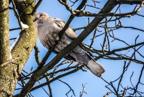 balandis,balandis,laukiniai,paukštis,gyvūnas,laisvė,gamta,dangus,medis,saulės šviesa