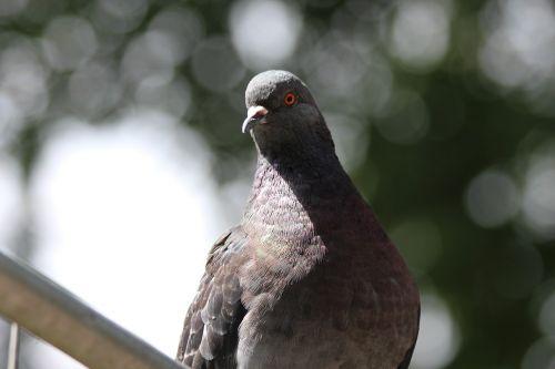 balandis,roko balandis,columba livia,paukštis,plunksnos rasės,gyvūnai,fauna,pilka