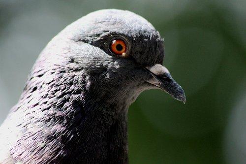 Dove, paukštis, gyvosios gamtos, gyvūnai, pobūdį, lauke, joks žmogus, plunksnuočių lenktynės, galva, krupnyj planas, akių, snapas, gyvūnija, Rock Pigeon, Columba livia, zoologija, ornitologija