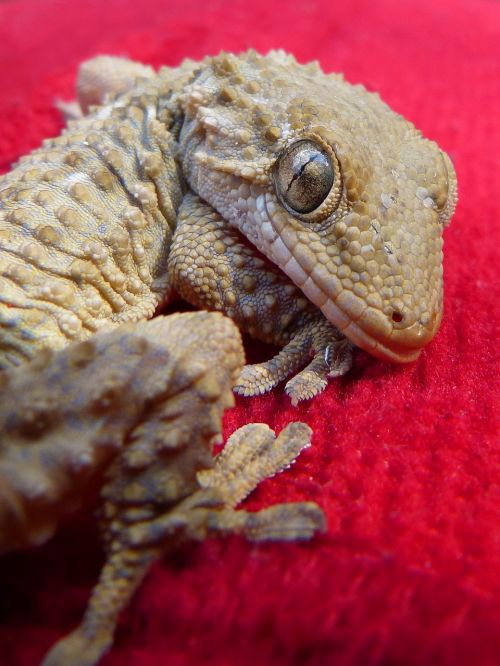 drakonas,gecko,driežas,ropliai,sulaikymas
