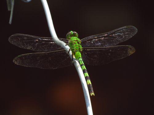 drakonas skristi,lazda,vabzdžiai,gyvūnai,gamta,sparnai,vabzdys,skraidantis vabzdys