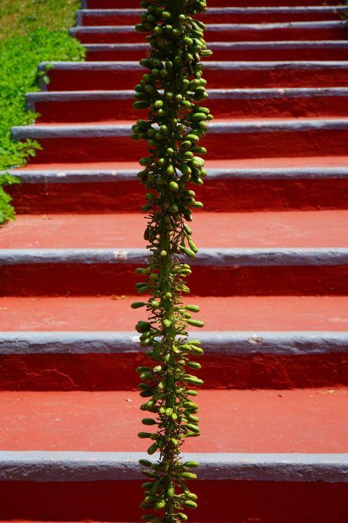 drakonas medis-agavas,žiedynas,laiptai,atsiradimas,palaipsniui,raudona,žalias,Agave attenuata,agavė,agavengewächs,liliaceae,gooseneck-agavė,budas