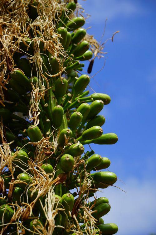 drakonas medis-agavas,žiedynas,žalias,Agave attenuata,agavė,agavengewächs,liliaceae,gooseneck-agavė,budas