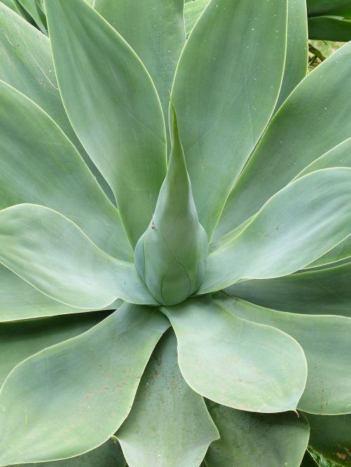 drakonas medis-agavas,lapai,augalas,žalias,Agave attenuata,agavė,agavengewächs,liliaceae,gooseneck-agavė,mėsingas,pažymėtas