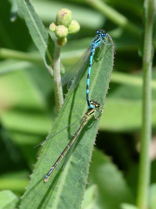 lazdelės,poravimas,mate,kopuliavimas,sparnuoti vabzdžiai,poravimosi vabzdžių,mėlyni lazda vabzdžiai