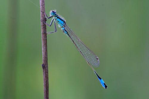lazda,maža lazda,nelaimingas lazda,skrydžio vabzdys,vabzdys,ischnura elegans