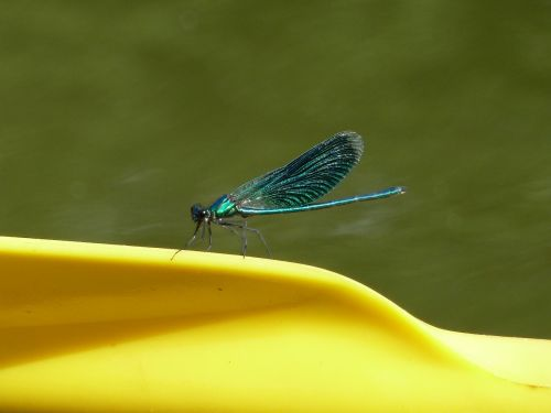 lazda,vabzdys,mėlynas,geltona,gamta,vasara,šviesus,skrydžio vabzdys