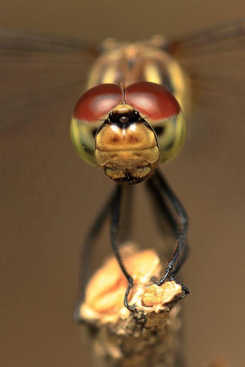 lazda,lazda akys,vabzdžiai,raudona lazda,prispausti,makro,jungtinės akys