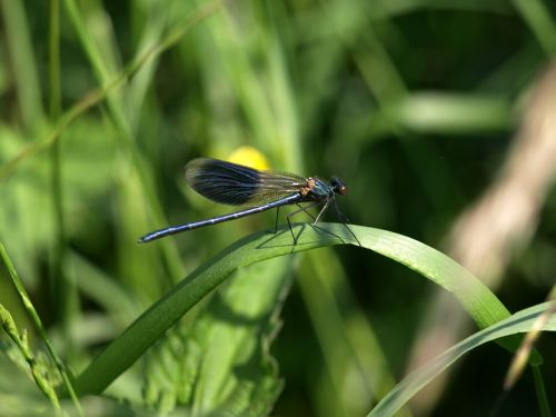 lazda,žolė,gamta,sparnas,demoiselle,Calopteryx splendens splendens,mėlynas,žalias,žolės mentė,vasara,vyrai