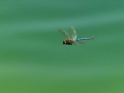 lazda,vabzdys,sparnas,skrydžio vabzdys,Uždaryti,ežeras,didžiulis