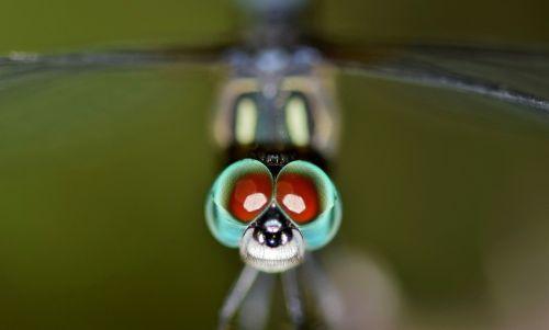 lazda,vabzdys,klaida,sparnuotas vabzdys,skraidantis vabzdys,makro,padaras,gyvūnas,Iš arti,akys,klaida akyse,klaida eyed,galva,ramybėje,poilsio,biologija,entomologija,nariuotakojų,odonata