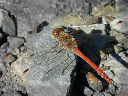 lazda,Rokas,raudona lazda,simpetrum striolatum,libelulido,sparnuotas vabzdys