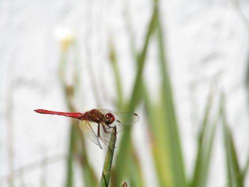 lazda,gamta,vabzdžiai,skraidantis vabzdys,raudona,lapai,sparnai,vabzdys,gyvūnai